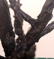 arbre_cola05